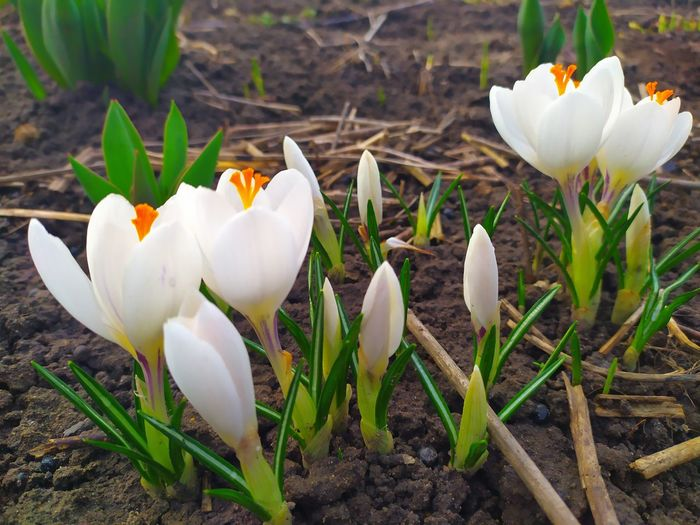 Close-up of white crocus flowers on field