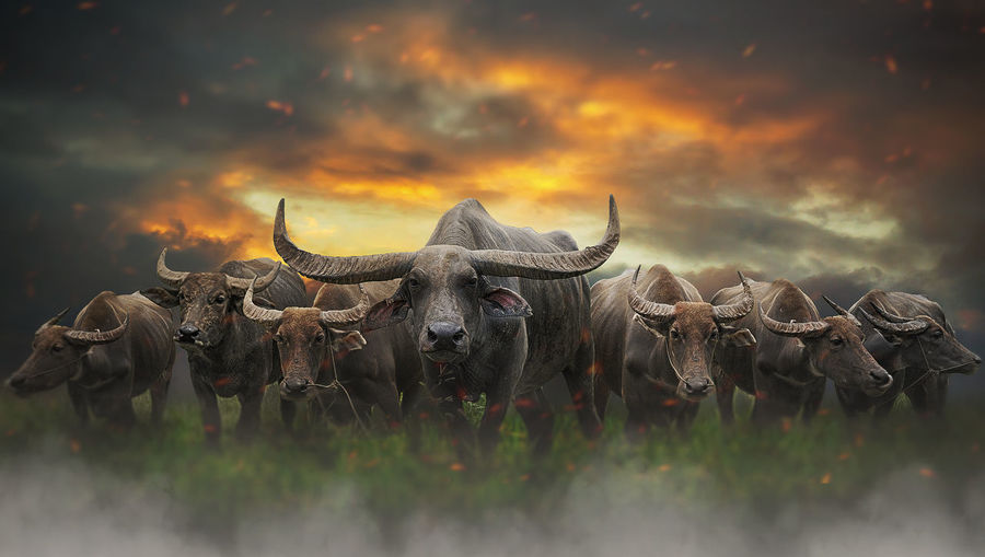 Animal Animal Themes Animal Wildlife Animals In The Wild Buffalo Cattle Cloud - Sky Domestic Animals Domestic Cattle Field Group Of Animals Herbivorous Herd Horned Livestock Mammal Nature No People Outdoors Pets Sky Sunset Vertebrate