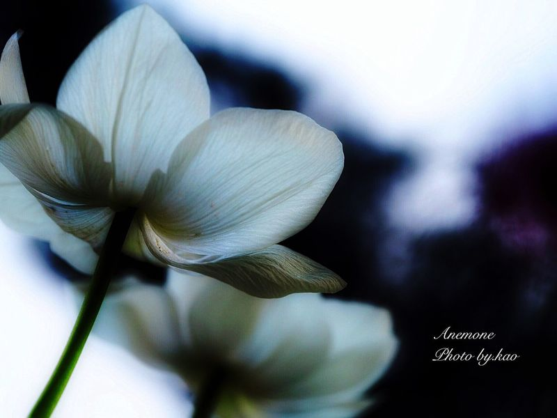 Anemone アネモネ Light And Shadow EyeEm Flower Spring Flowers