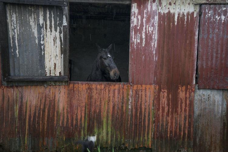 Horse Through Window Black Corrugated Corrugated Metal Horse Me OpenEdit Panel Peek Rust Rusty Shopping Stable White Spot Window