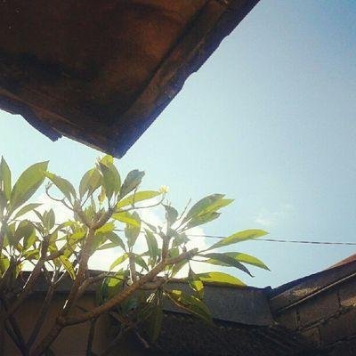 frangipani Flower Frangipani Leaves Instadaily Instagood Instanesia Instanusantara Picoftheday Photooftheday Instafamous Sky Natgeo Bali INDONESIA LangitBaliPhotowork