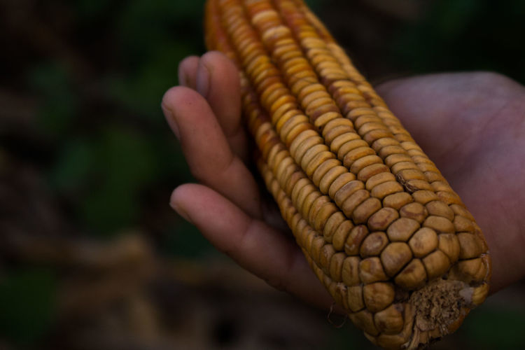 Close-up of hand holding corn