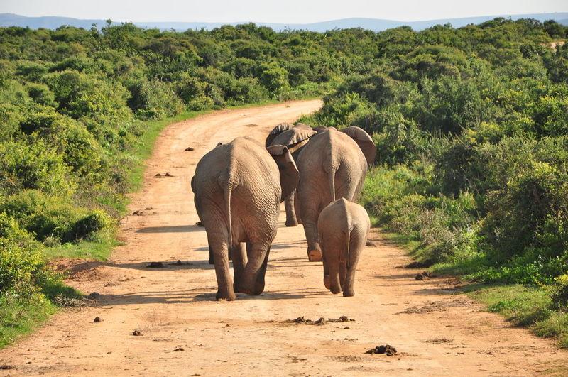 Elephants walking on road