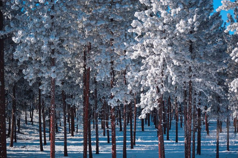 Panoramic view of pine trees on snow covered land