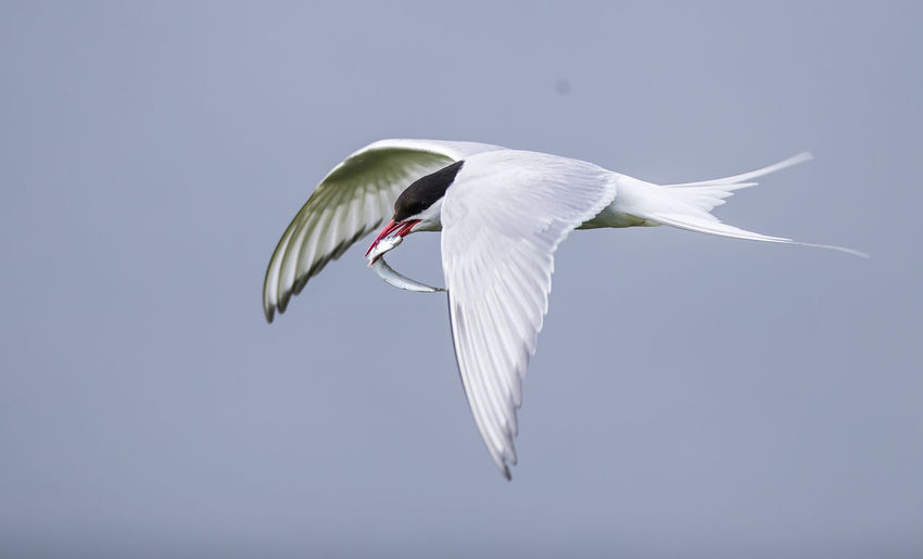 Low Angle View Of Arctic Tern Carrying Fish In Mouth While Flying Against Sky