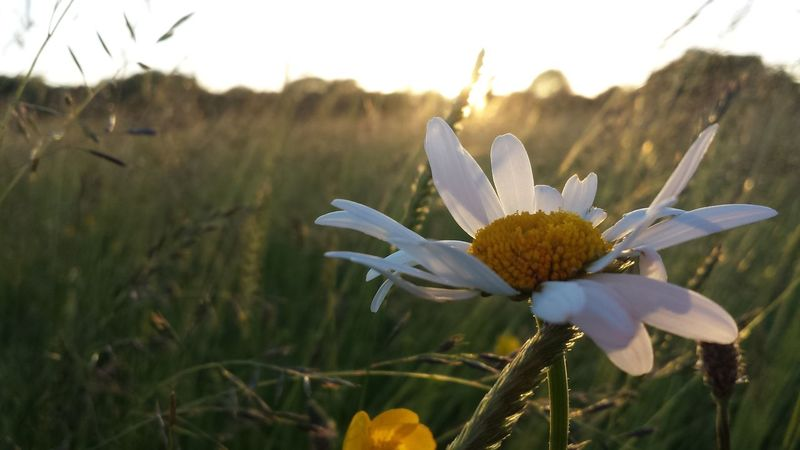 Beautiful daisy! Sunrise N Sunsets Worldwide  TheVille The Purist (no Edit, No Filter) Flowers For Passion!