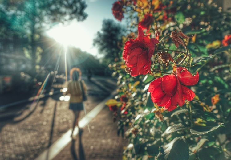 2019 Niklas Storm Juli Flower Flower Head Red Sunlight Sun Lens Flare Branch Close-up Plant In Bloom Blooming Plant Life Fragility