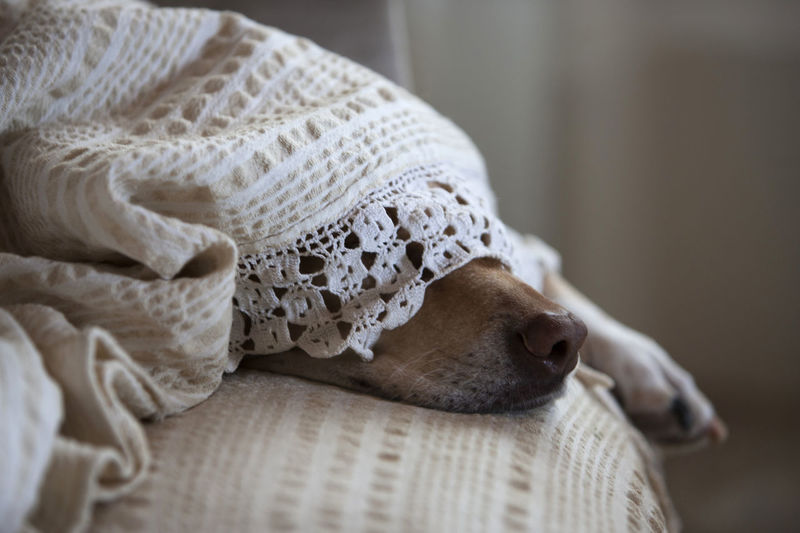 Elsa, an ex stray dog, loves to be covered by blankets! Blanket Close-up Comfortable Cute Dog Dog Nose Full Frame Home Home Interior Innocence Nap Nose Portrait Relaxation Relaxing Sleep Sleeping Sleeping Dog Sofa SOFA TIME Market Bestsellers September 2016 Bestsellers