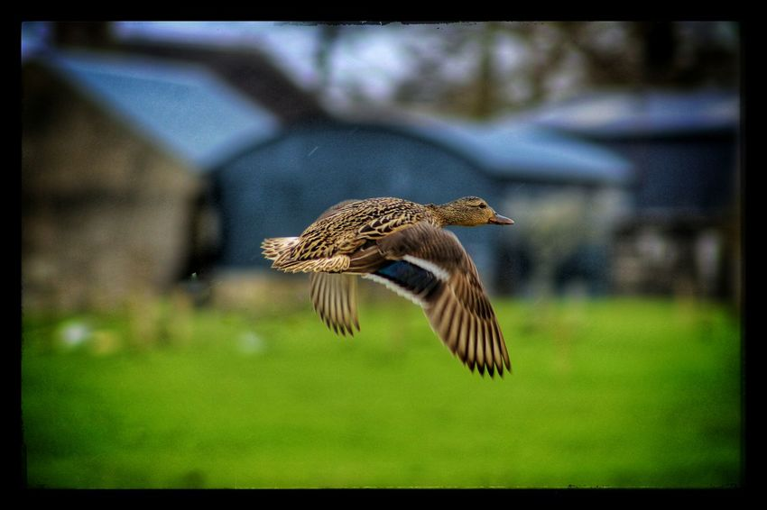 Flying Mallard Duck Female Duck Flying Female Duck Nature_collection Spring Is Here EyeEm Best Shots - Nature EyeEm Gallery Showcase April Spring2016 Spring Has Arrived Our Best Pics EyeEm Best Shots Animal Magic Wildfowl Capturing Movement Birds Of EyeEm  Birds Exceptional Photographs Mallard Mallard Duck Bird Photography Birds_collection In Flight Natures Diversities