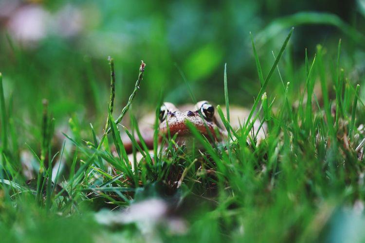 Laubfrosch Gras  Frosch Canon_photos Canon Garten Beautiful Reptile Close-up Grass Animal Body Part