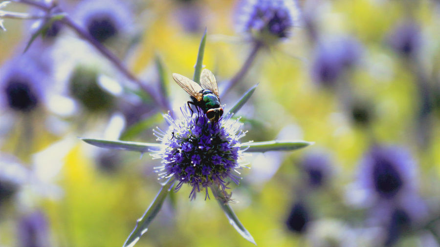 Insects can look elegant too! Flower Insect Purple Focus On Foreground Close-up Macro No People Outdoors Beauty In Nature Nature Throwback Housefly Flies Uk Brighton Garden Photography Photooftheday EyeEmNewHere