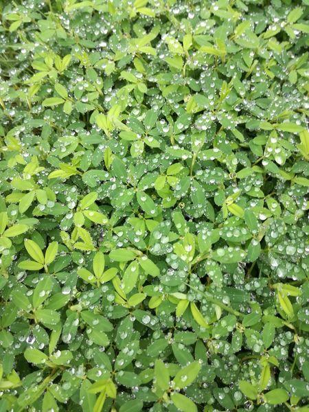 雨上がり。 水滴 Green Raindrops
