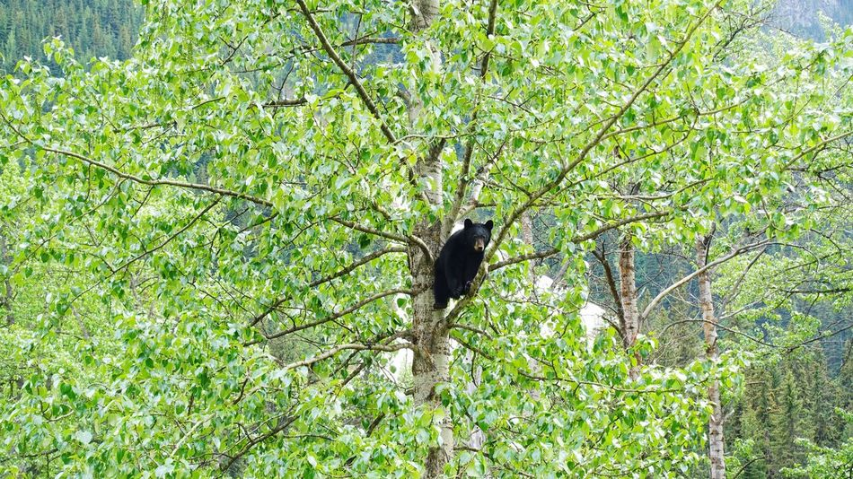 the black bear on a tree Glacier National Park Kamloops Canada Road Tripping Abventure Travel Black Bear Wildlife Animal Nature