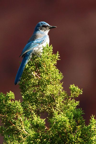 Western Scrub Jay in Maxwell Canyon Utah Birdwatching Scrub Jay Western Scrub Jay Maxwell Canyon Animal Bird Animal Wildlife Perching Animals In The Wild Nature One Animal Blue Animal Themes No People Tree Beauty In Nature Outdoors