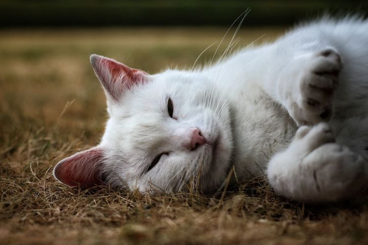 Pets Feline Domestic Cat Lying Down Sleeping Close-up Grass