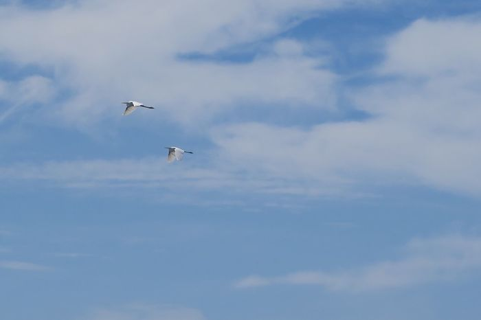 Flying Sky Low Angle View Cloud - Sky Bird Animals In The Wild Animal Themes Day Mid-air Spread Wings Nature No People Outdoors Beauty In Nature
