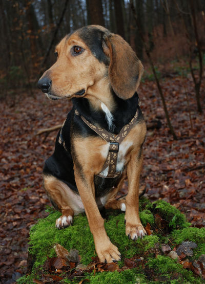 Our Käthe (Greece Hound) Käthe Pet Portraits Pets Canine One Animal Dog Domestic Domestic Animals Mammal Animal Themes Looking Forest Sitting