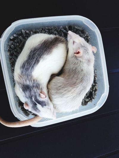 yin yang Animal Cute Rat Rats Sueño Rim Dormir Avy Avy And Rim Loverats Loverat Love