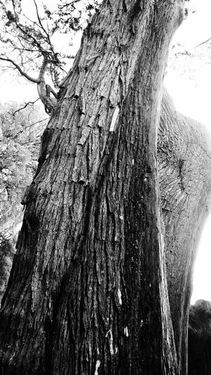 Bark Beauty In Nature Black & White Black And White Close-up Curraghchase Day Growth Knotted Wood Low Angle View Nature No People Outdoors Rough Sky Textured  Tree Tree Trunk Wood - Material