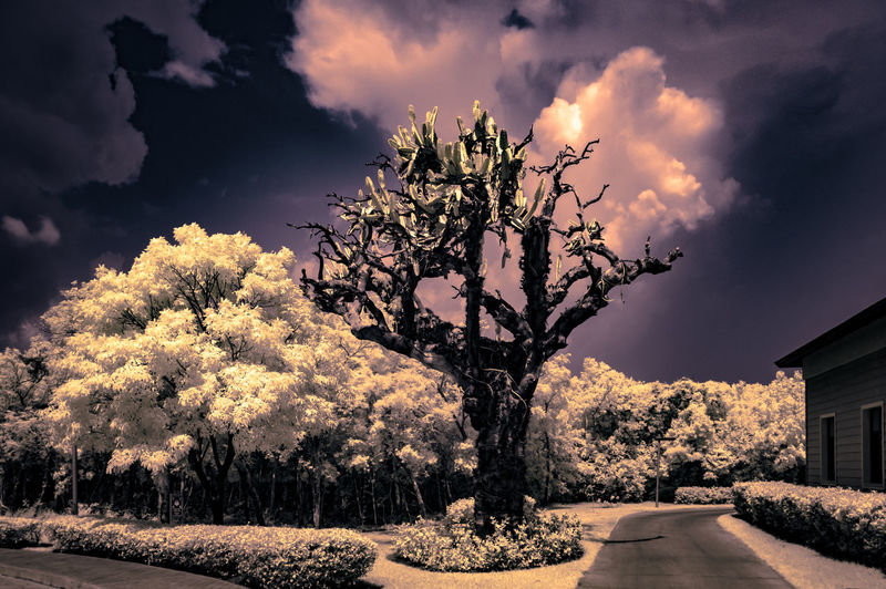 Crazy Cuban Cactus [IR+UV] Cactus Check This Out Exceptional Photographs EyeEm Best Shots Growth Hanging Out Hello World Nature Plant Relaxing Taking Photos Beauty In Nature Botany Cloud - Sky Day Enjoying Life First Eyeem Photo Flower Landscape No People Outdoors Scenics Sky Skyporn Tree