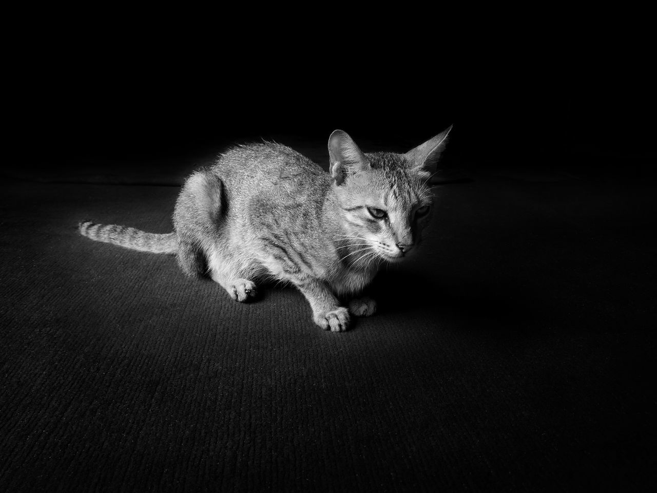 one animal, pets, domestic cat, animal themes, mammal, domestic animals, full length, looking at camera, feline, no people, sitting, portrait, indoors, day