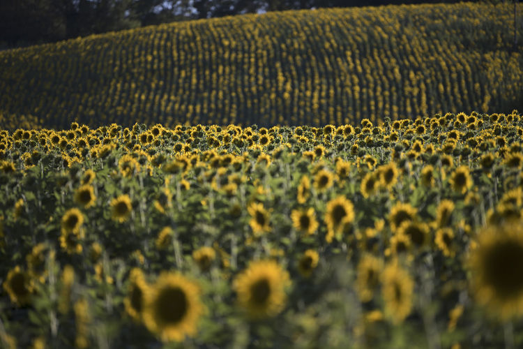 Sunflowers In Farm