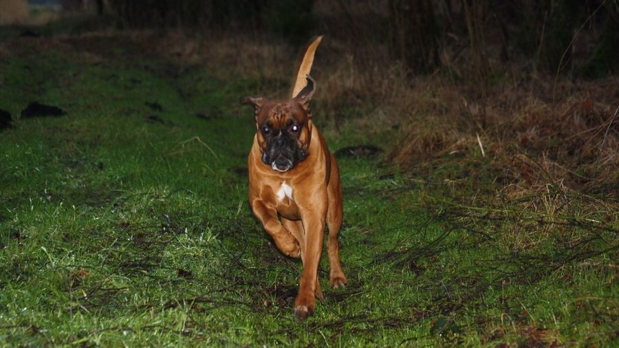 Portrait Of Boxer Running On Grassy Field