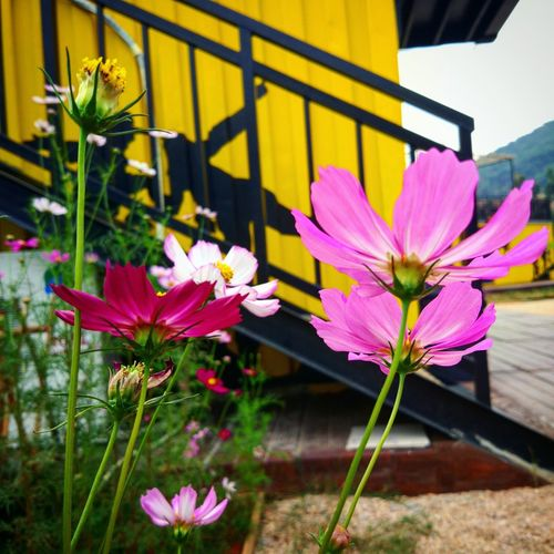 Flower Fragility Freshness Nature Petal Beauty In Nature Outdoors Pink Color No People Day Flower Head Plant Growth Building Exterior Close-up