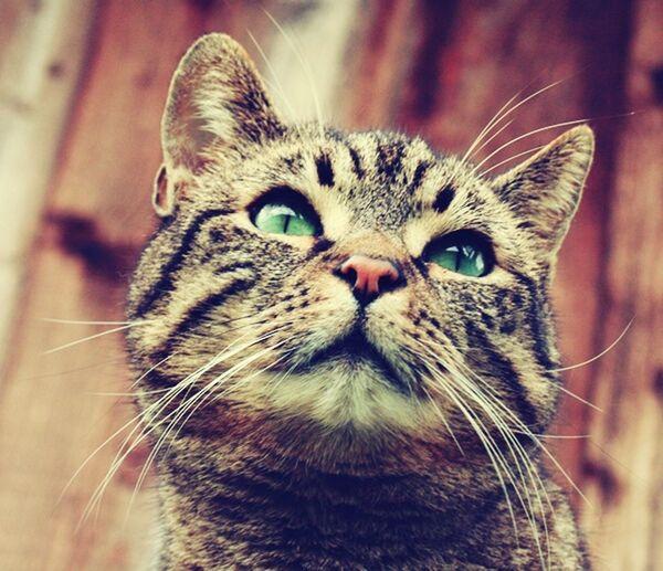 Cat Gary Green Eyes Animal