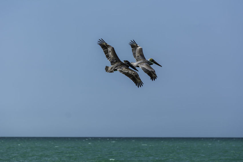Flying couples Animal Themes Animal Wildlife Animals In The Wild Beauty In Nature Bird Bird Of Prey Clear Sky Day Flying Horizon Over Water Low Angle View Mid-air Nature No People One Animal Outdoors Sea Sky Spread Wings Water Waterfront