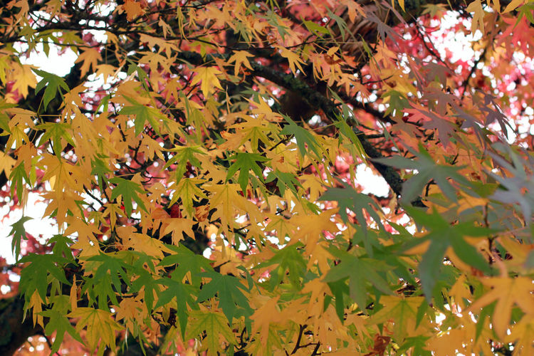 Autumn Autumn Backgrounds Beauty In Nature Branch Change Close-up Day Fragility Freshness Growth Leaf Leaves Maple Maple Leaf Nature No People Outdoors Tree