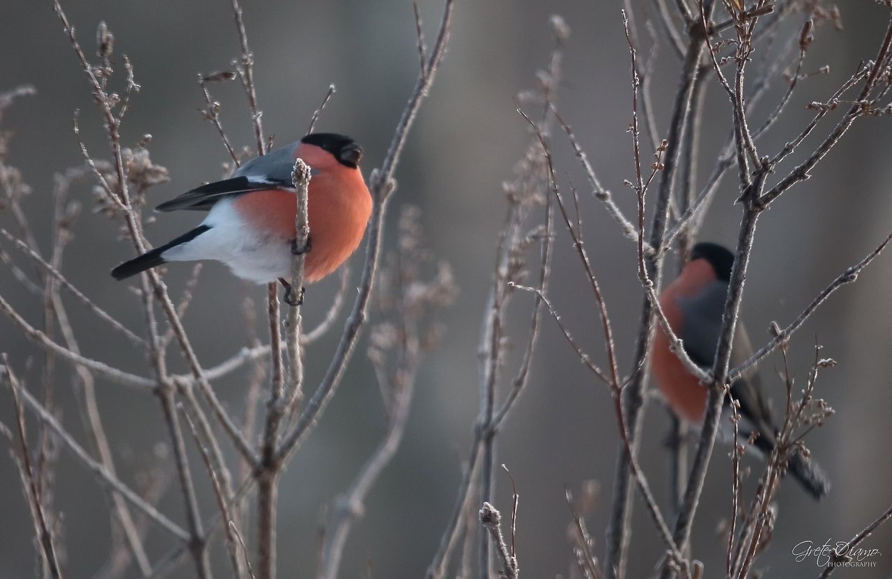 animals in the wild, one animal, bird, animal themes, perching, animal wildlife, nature, no people, red, beauty in nature, outdoors, day, bare tree, close-up