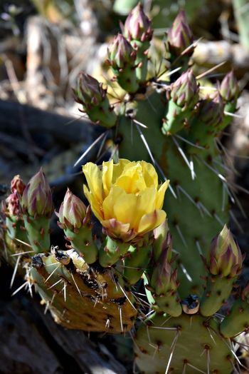 Beauty In Nature Cactus Close-up Flower Flower Head Grand Canyon National Park Nature No People Plant Prickly Pear Cactus Yellow