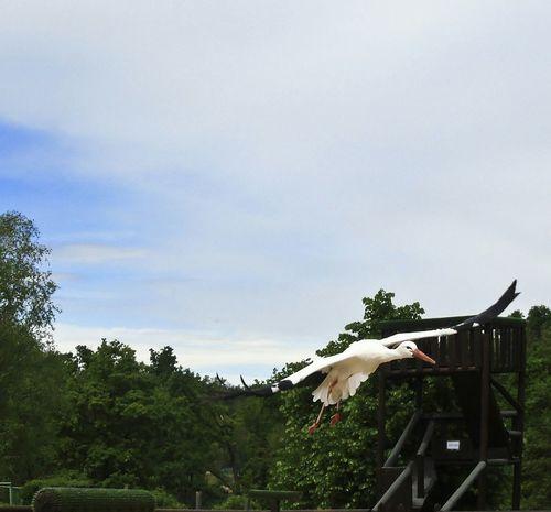 Stork in flight Cicogna Volo Flight Stork