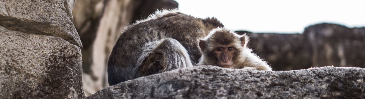 Focused staring Stones Staring Looking Ape Monkey Mammal Animal Themes Animal Primate Animal Wildlife Animals In The Wild Monkey Vertebrate Two Animals Group Of Animals Animal Family
