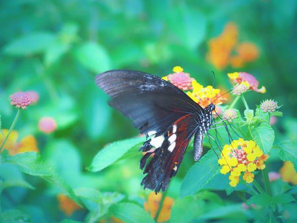 傷んだ羽根で…君はなにを思い…誰を思い舞う… アゲハ蝶Butterfly Flower Natural EyeEm Nature Lover EyeEm Best Shots EyeEm Gallery