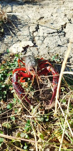 coucou toi !!! 🦐😃❤ Lac écrevisse Red Colors Samsung Galaxy S8 Nofilter Beautiful Nature Light And Shadow Shadow Sunlight High Angle View Sand Close-up Grass
