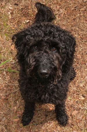Black Labradoodle Black Dog Dog Dogslife Labradoodle Pet