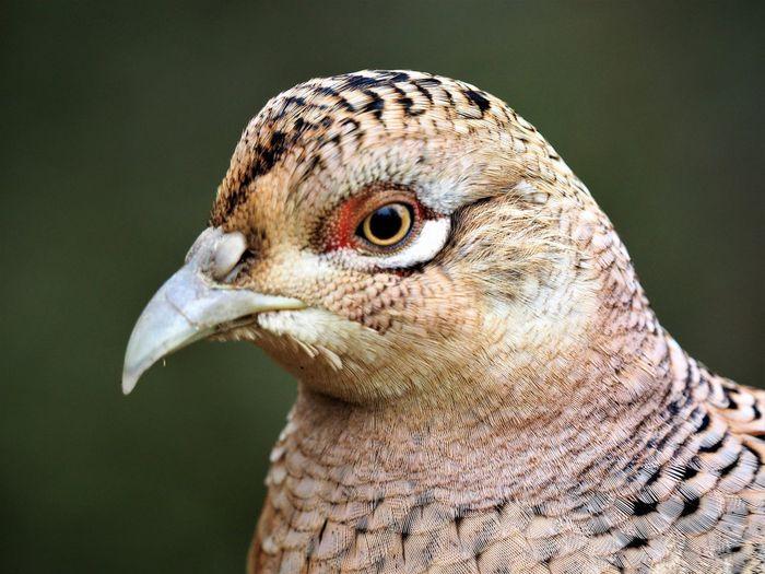 Animal Eye Animal Themes Animal Wildlife Animals In The Wild Beak Bird Close-up EyeEmNewHere Grouse One Animal