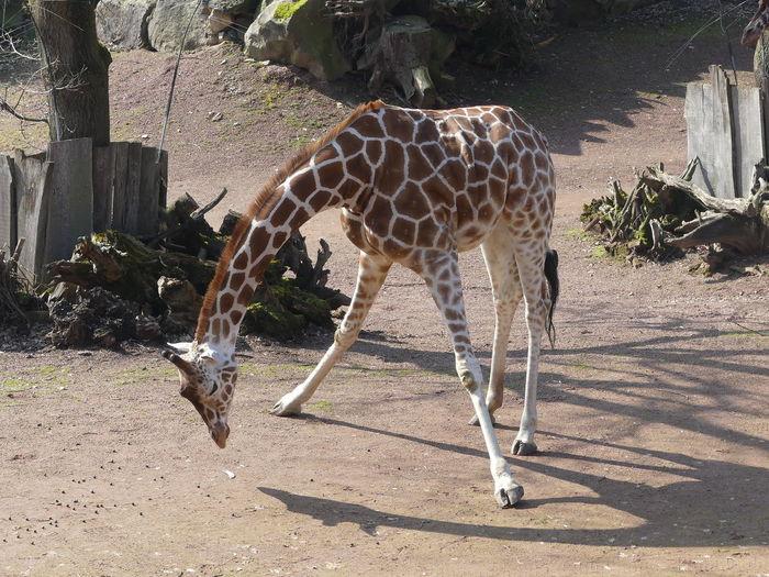 View of giraffe in zoo
