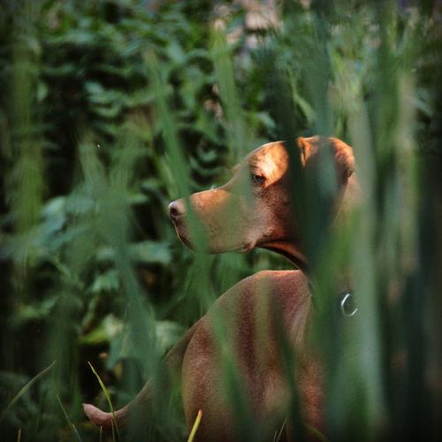 Close-up of a dog in long grass. hungarian vizsla