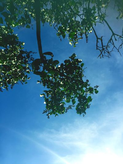 Tree Canopy  Tree Leaf Blue Outdoors Beauty In Nature Sky Eeyem Photography Eye4photography  EyeEm Best Shots Taking Photos EE Love Connection! Nature Nature On Your Doorstep Lookingup Outside Photography Nature_collection EyeEm Nature Lover Green