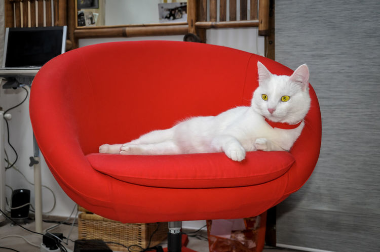 Gorgeous white cat with red collar sitting in red desk chair Beautiful Animal Bright Colors Desk Red Collared Longhorn Beetle Vivid Animal Themes Beautiful Cat Chair Comfortable Day Domestic Animals Domestic Cat Feline Home Desk Indoors  Laying Mammal No People One Animal Pet Cat Pets Red Relaxed White Cat Yellow Eyes