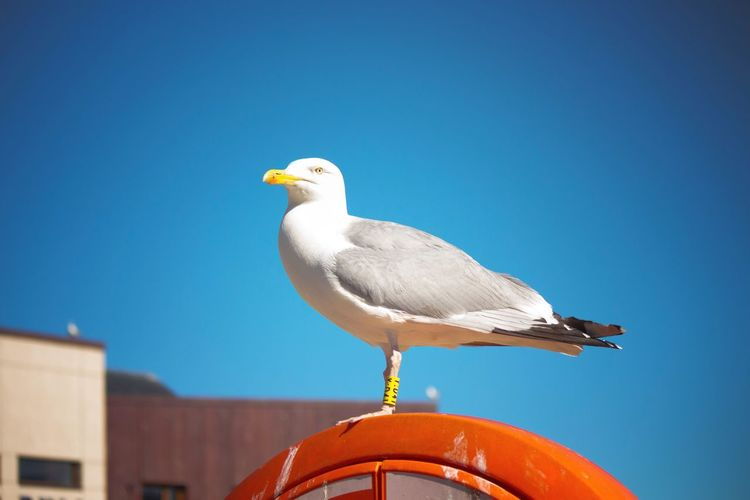 One Animal Bird Animal Themes Seagull Perching Sea Bird No People Clear Sky Close-up Nature Animals In The Wild Day Low Angle View Sky Blue