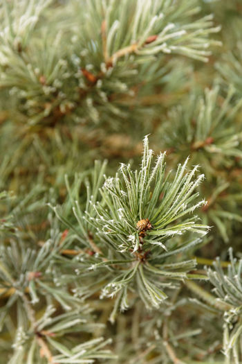 Close up of a pine needles on pine tree with buds using shallow depth of field. Frost Frost Crystals Shades Of Winter Shallow Depth Of Field Beauty In Nature Close-up Day Freshness Frosted Glass Green Color Growth Nature Needle Needle - Plant Part No People Outdoors Pinaceae Pine Tree Plant Tree