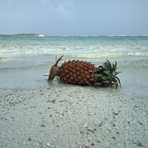 The tanning ananas 😅 Nothingisordinary Liveauthentic Thegoodlife Maldives Tanning Joksters Tropical Fruits Sand Waves ExploreEverything Livethelittlethings Pineapple Pineappleexpress Incrediblebeaches
