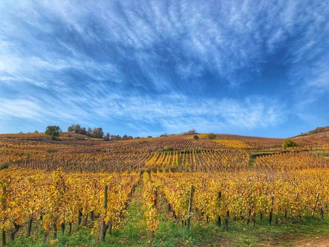 Vinyard Agriculture Field Landscape Cloud - Sky Sky Growth Beauty In Nature Yellow Nature Rural Scene