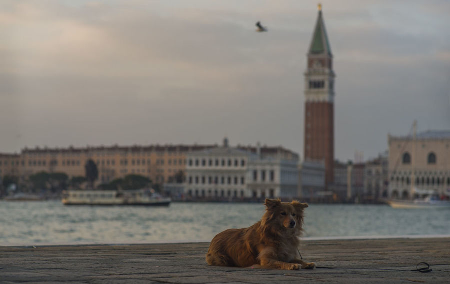 Bell Tower Brown Dog Half Caste Italy Lagoon San Giorgio Maggiore San Marco Sunset Vaporetto Venice