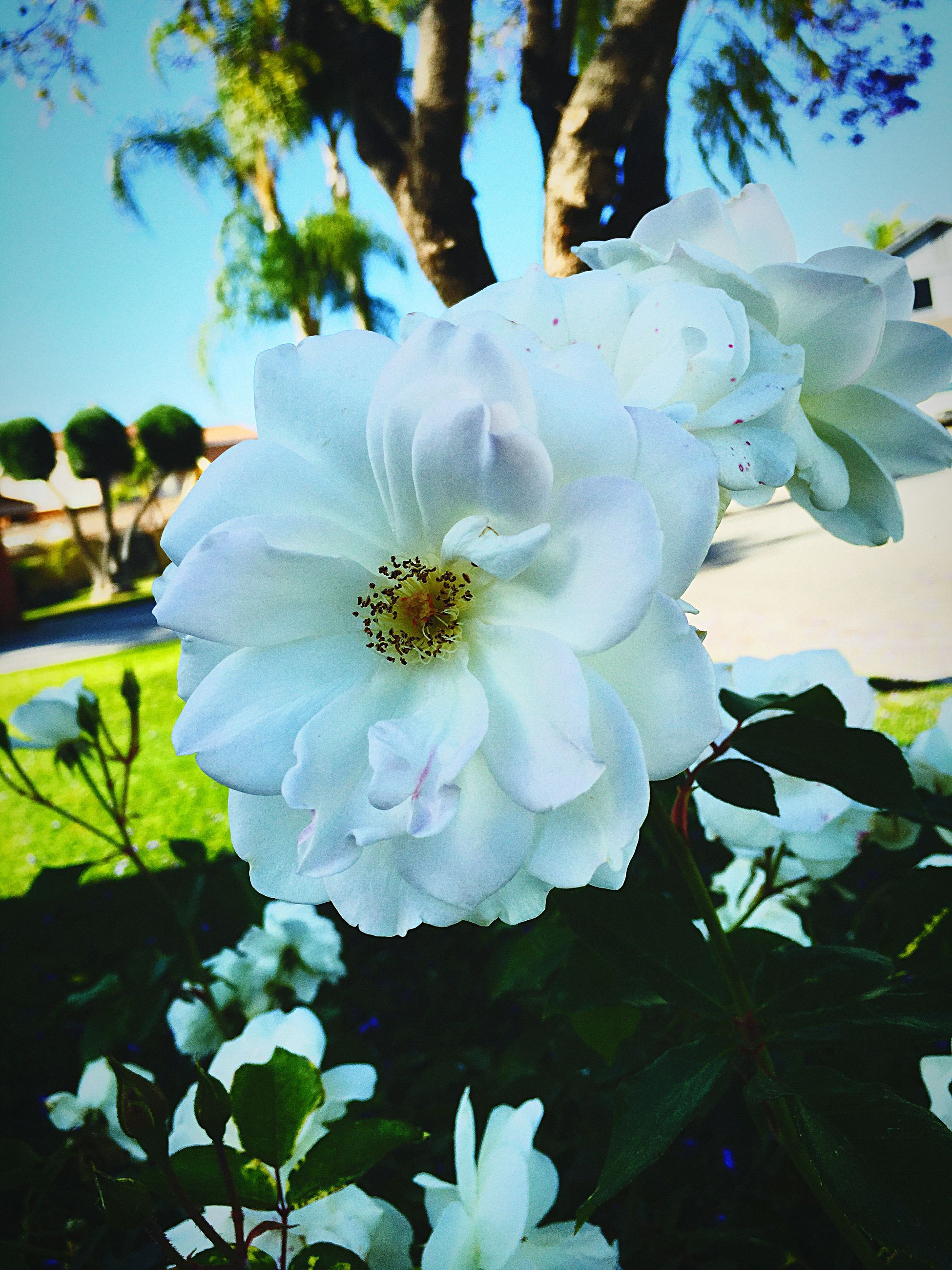 flower, petal, fragility, growth, freshness, leaf, flower head, white color, blooming, beauty in nature, close-up, nature, plant, pollen, in bloom, focus on foreground, single flower, high angle view, day, park - man made space