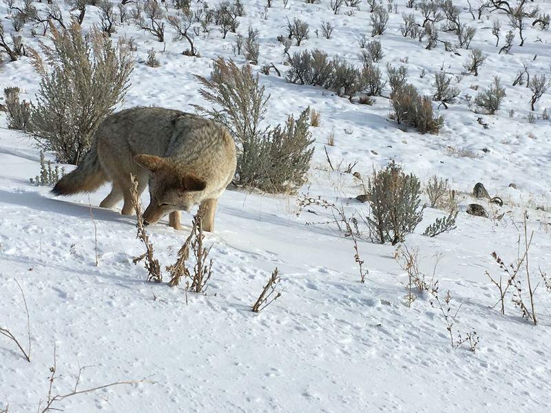 Montana Animal Animal Wildlife Cold Temperature Coyote Snow Winter Yellostone